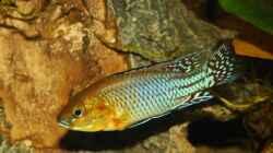 Pseudocrenilabrus nicholsi -Male-
