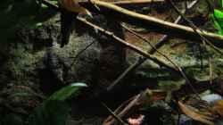 Pflanzen im Aquarium Afrikas Kongo River