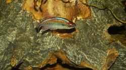 Kongosalmler lat. Phenacogrammus interruptus