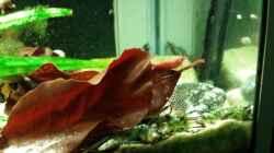 Besatz im Aquarium Salmler-Suppe (Okt.2015 abegaut)