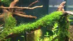 Fissidens spec. mini (leider mit algen)