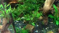 Mini-Moos - Taxiphyllum spec.