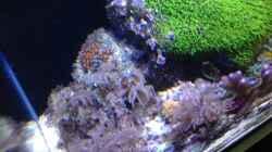 Pflanzen im Aquarium Diud Cube Riff