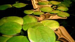 Abendstimmung mitLimnobium laevigatum - Südamerikanischer Froschbiß)