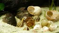 Besatz im Aquarium Kleiner Tanganjikasee