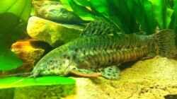 Besatz im Aquarium Mein 450l Amazonasbecken