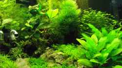 Pflanzen im Aquarium Nano Cube 60 Liter