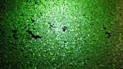 Wasserlinsen (Lemnar Minor)