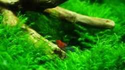 Besatz im Aquarium Mooswand/Fissidens