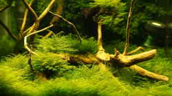 Vordergrund Fissidens fontanus `Normal`