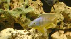 Eclectochromis `mbenjii` Thick Lip