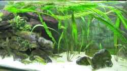 Pflanzen im Aquarium Tanganjika