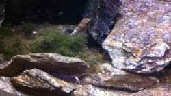 Besatz im Aquarium My Lake Matano--existiert so nicht mehr