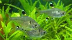 Besatz im Aquarium Guppytraum (Nur noch als Beispiel)