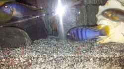 Besatz im Aquarium mein Malawi-Tank