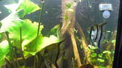 Talawa Wood Wurzel