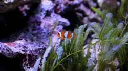 Amphiprion ocellaris - Anemonenfisch
