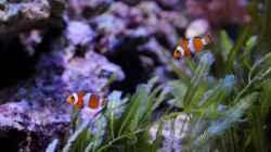 Pärchen Amphiprion ocellaris - Anemonenfisch