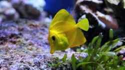 Zebrasoma flavescens - Zitronenflossen-Doktorfisch