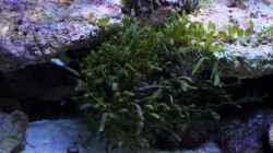 Caulerpa brachypus - Alge - mit dem Lebendgestein ins Becken gekommen.
