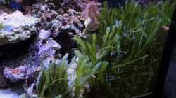 Caulerpa taxifolia - Grünalge