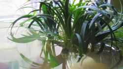 Pflanzen im Aquarium Am Fensterbrett I