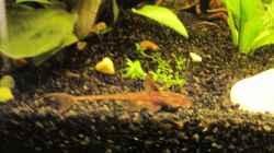 Besatz im Aquarium Barschbecken