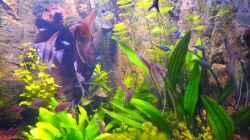 Manucapuru Rotrücken Skalar (NZ) 4 Monate alt 31.12.12