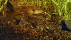 Besatz im Aquarium Schneckenbuntbarsche Zuchtbecken