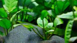 Pflanzen im Aquarium Spirit of Asia 2.0