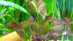 Nymphaea Lotus nach einer Woche, 15.2.2013
