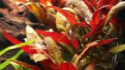Alternanthera reineckii `Pink` - roseafolia