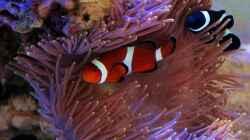 Clownfisch Pärchen