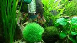 Sumatra+Moosbarben+Trauermantelsalmler