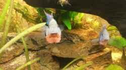 Besatz im Aquarium Mittelamerika Meeki Becken