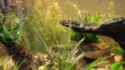 Pflanzen im Aquarium Mittelamerika Meeki Becken