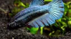 Siamesischer Kampffisch   Betta splendens - Weibchen
