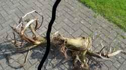 Diese Wurzel wurde auseinandergesägt, daraus wurde Wurzel 12 (links) und die Wurzel