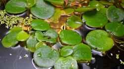 Ein Mix aus Wasserlinsen und südamerikanischem Froschbiß