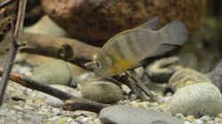 Besatz im Aquarium Cameroon beauties / Nur noch Beispiel /