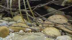 Aquarium Cameroon beauties / Nur noch Beispiel /