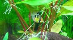 Schmetterlingsbuntbarsch Weibchen