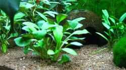 Pflanzen im Aquarium Becken 26357 Juwel Rio 125 stillgelegt