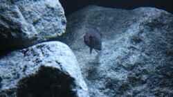 Aquarium Rocks for Variabilichromis