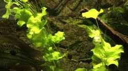 Pflanzen im Aquarium Mein 1050er