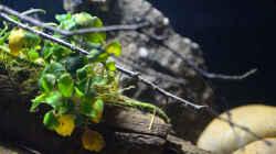 Aquarium Menja River Biotop / Nur noch Beispiel /
