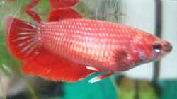 Besatz im Aquarium Kampffisch-Nano (Putzi)