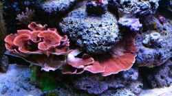 Montipora Platte rot