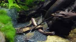 Besatz im Aquarium Micro-Dschungel