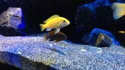 Besatz im Aquarium Mbunas World